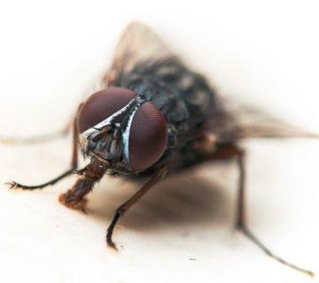Flies Extermination