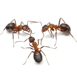 Ants Removal