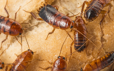 Cockroaches: Health Risks, Prevention And Treatment